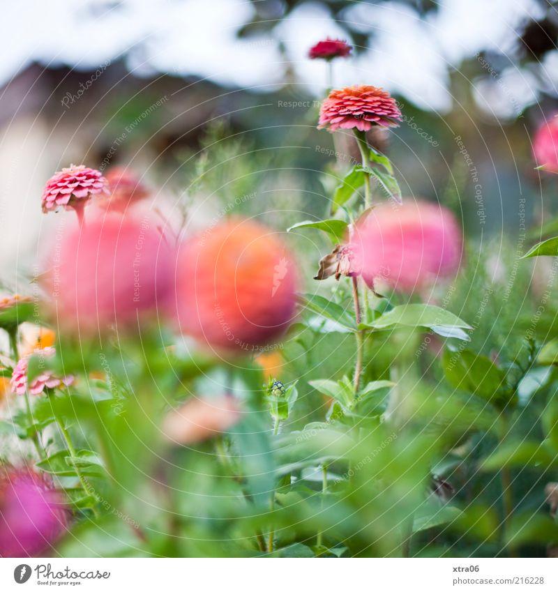 blümchen Natur Pflanze Sommer Blatt Blüte Frühling Garten rosa Umwelt Wachstum Sträucher Blühend