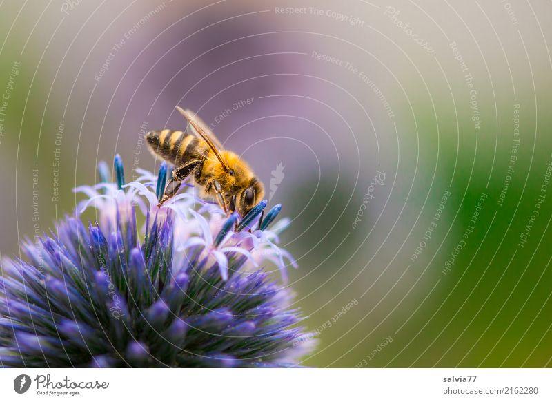 blaue Kugel mit Sternchen Natur Sommer Pflanze Blume Blüte Distelblüte Garten Tier Biene Insekt Honigbiene 1 Duft krabbeln ästhetisch lecker schön Spitze