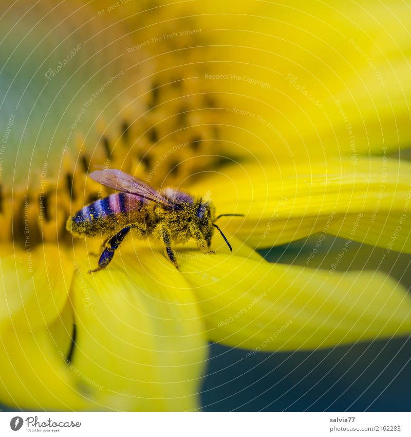 Gelb Natur Sommer Blume Blüte Sonnenblume Garten Feld Biene gelb Duft Pollen Farbfoto Außenaufnahme Makroaufnahme Strukturen & Formen Menschenleer