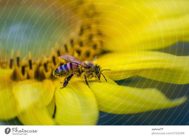 die Nase voll Umwelt Natur Sommer Pflanze Blume Blüte Nutzpflanze Sonnenblume Garten Tier Nutztier Biene Insekt Honigbiene 1 Blühend Duft krabbeln braun gelb