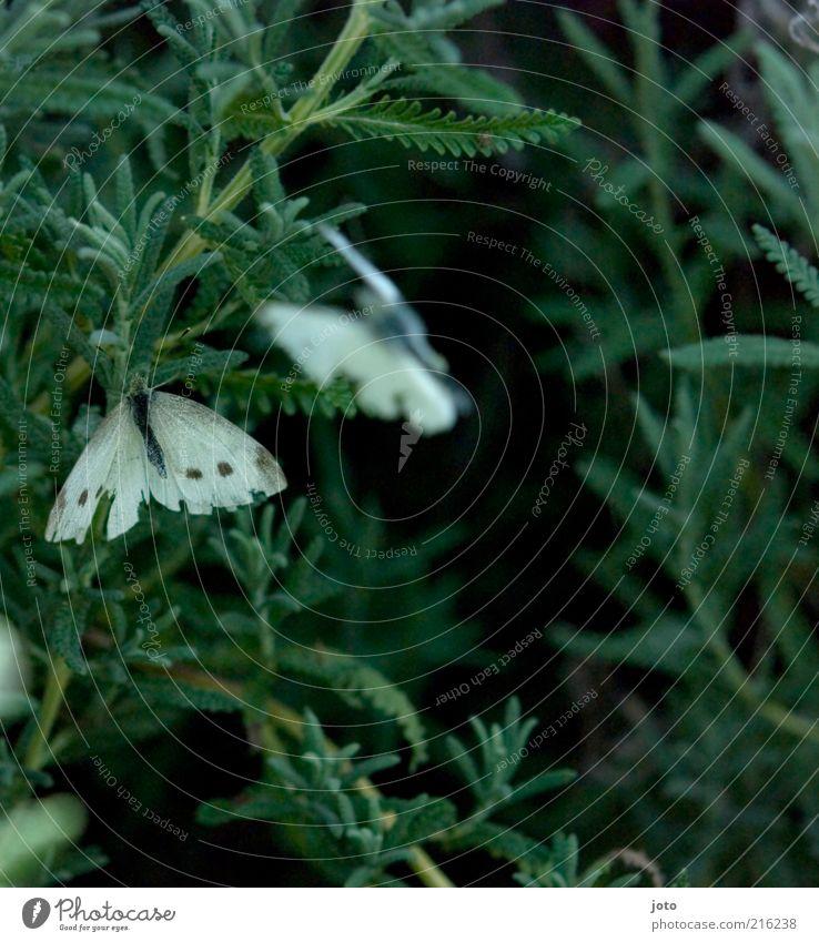 wo die Liebe hin...fliegt Natur grün schön Pflanze Sommer Tier Frühling Freundschaft 2 Zusammensein Tierpaar ästhetisch Flügel Sträucher Romantik Schmetterling