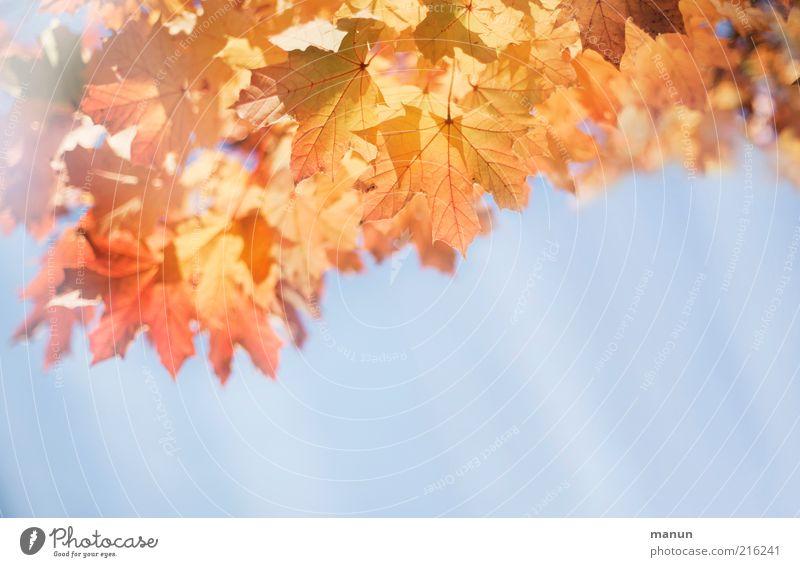 Herbstwetter Umwelt Natur Wolkenloser Himmel Schönes Wetter Baum Blatt Herbstlaub Herbstfärbung Herbstbeginn Herbsthimmel herbstlich Sonnenstrahlen Ahorn