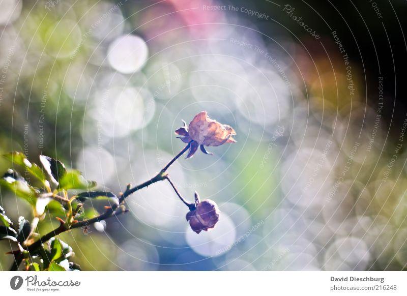 Morning fog Natur Pflanze Herbst Rose Blatt Blüte grün weiß verblüht hell Wachstum herbstlich Lichtspiel Farbfoto Detailaufnahme Tag Kontrast Lichterscheinung