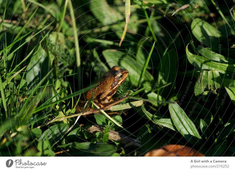 Olli Frosch Umwelt Natur Tier Gras Wiese 1 hocken natürlich braun grün Amphibie Freiheit frei Totale Farbfoto Außenaufnahme Menschenleer Tag Schatten Wegsehen