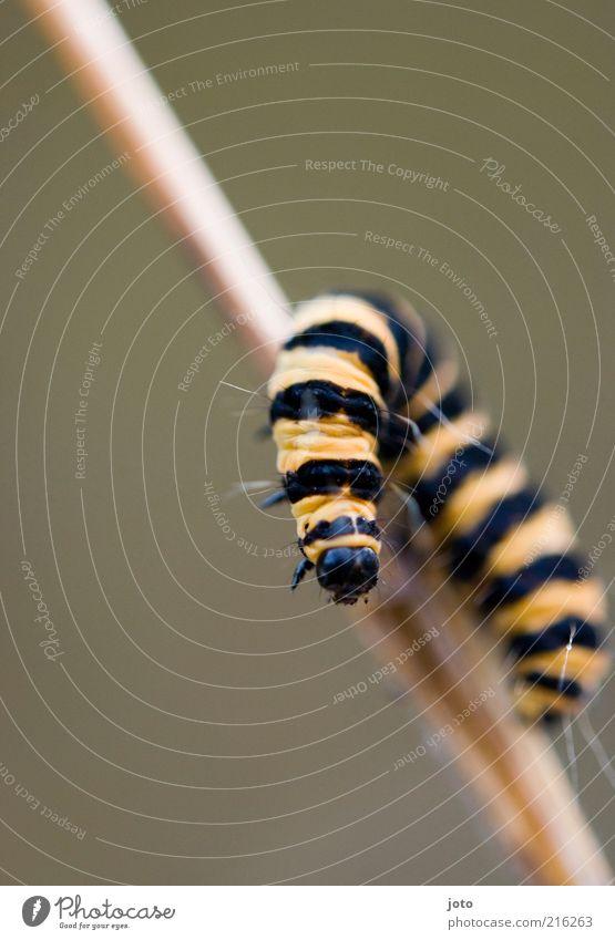 Freundin von Maja Natur Tier Halm Biene Tiergesicht Raupe hängen krabbeln ästhetisch lustig Janosch Klettern Neugier Streifen gelb drehen Richtungswechsel