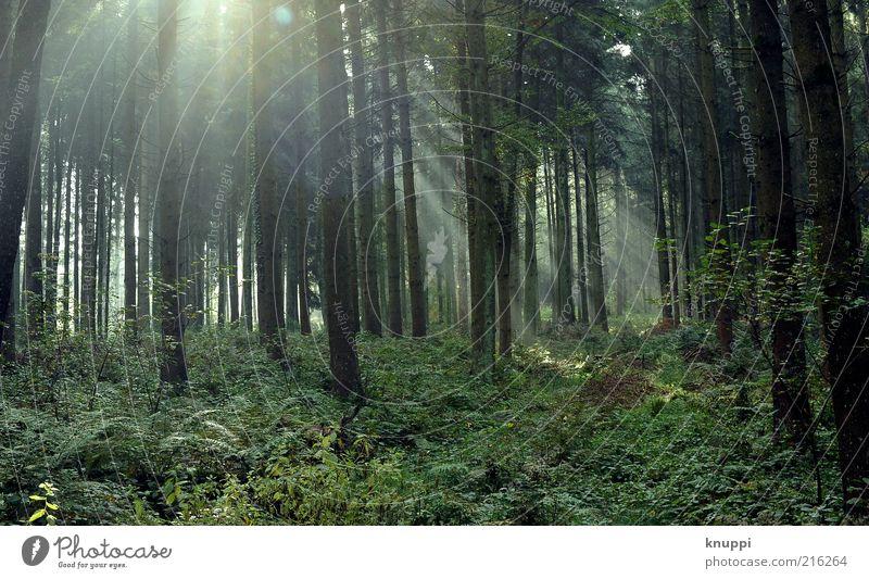 IIIII Natur alt grün Baum Pflanze Blatt ruhig Wald Landschaft Umwelt Luft braun Erde gold Ausflug Nebel