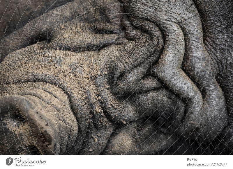 Hängebauchschwein Fleisch Wurstwaren Ausflug Safari Landwirt Bauer Bauernhof Landwirtschaft Umwelt Natur Tier Haustier Nutztier Wildtier Schwein Wildschwein 1