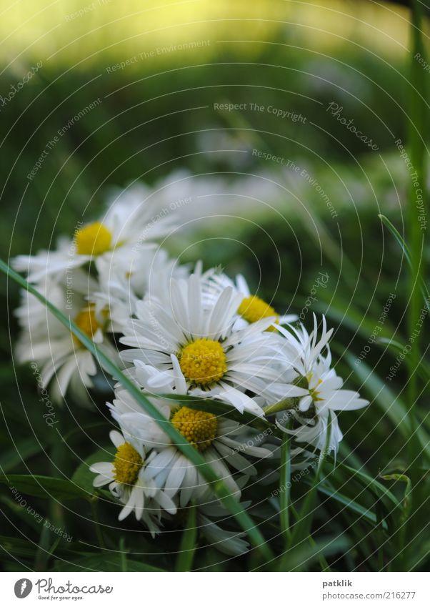 Blumenkranz Natur Pflanze Blüte ästhetisch frisch Gänseblümchen gelb weiß Gras grün Spielen Farbfoto Außenaufnahme Menschenleer Tag Wiese Sommer Frühling
