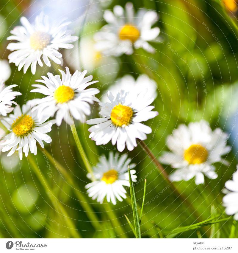sommer Umwelt Natur Pflanze Schönes Wetter Blume Gras Blatt Blüte Wiese weiß Gänseblümchen Farbfoto Außenaufnahme Sonnenlicht Frühling Sommer Blühend Tag
