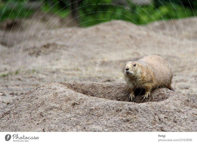 Freizeitspaß | ein Besuch im Zoo Sommer Tier Wildtier 1 Blick außergewöhnlich exotisch einzigartig klein Neugier niedlich braun grau grün Zufriedenheit