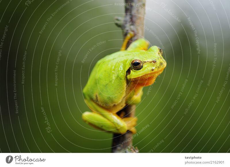 Netter Baumfrosch, der auf Zweig klettert schön Umwelt Natur Tier Wald klein natürlich Neugier niedlich wild grün Farbe Frosch Hyla Arborea Tierwelt Fauna