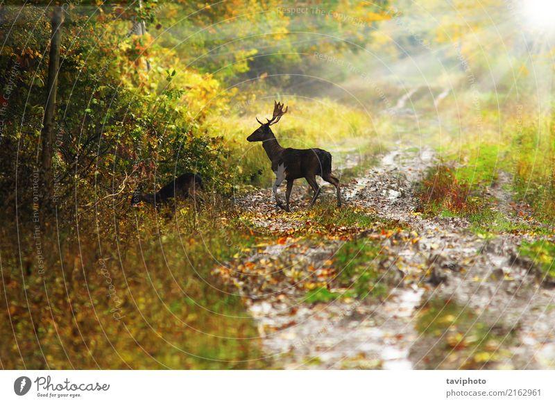 Damhirschdollar im schönen Dämmerungslicht Spielen Jagd Sonne Mann Erwachsene Umwelt Natur Landschaft Tier Herbst Baum Blatt Wald Straße Wege & Pfade natürlich