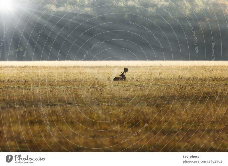 Damhirschhirsch im Sonnenaufgang orange Licht schön Spielen Jagd Umwelt Natur Landschaft Tier Horizont Herbst Nebel Baum Wald groß natürlich braun Farbe Hirsche