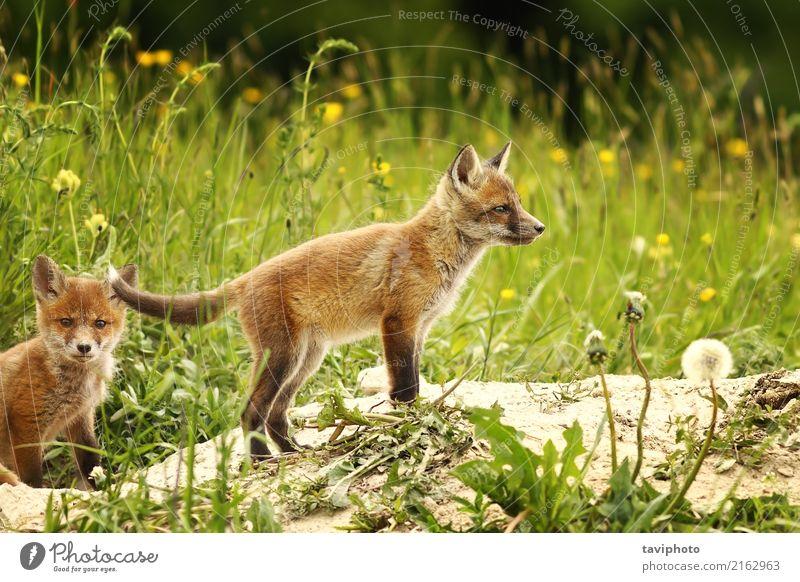 Fuchsjunge nahe dem Wald schön Gesicht Jagd Baby Familie & Verwandtschaft Jugendliche Umwelt Natur Tier Gras Pelzmantel Hund Tierjunges klein niedlich wild