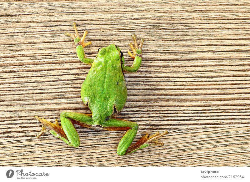 grüner Baumfrosch, der auf hölzerner Planke klettert schön Möbel Klettern Bergsteigen Umwelt Natur Tier Haustier Holz klein lustig natürlich niedlich wild Farbe