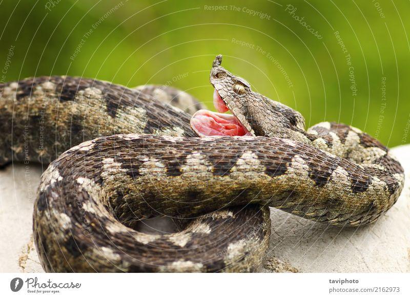 Vipera ammodytes zeigt seine Reißzähne Natur Tier Felsen Schlange Stein natürlich wild Angst gefährlich Natter Ottern Ammodyten Biss Treffer Reißzahn Gift