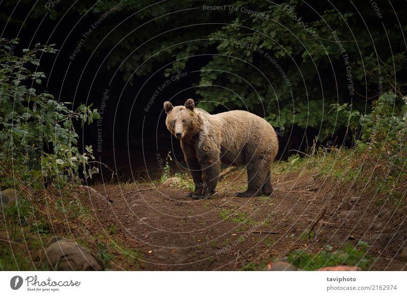 wilder Braunbär in den Karpatenbergen Berge u. Gebirge Mann Erwachsene Umwelt Natur Tier Park Wald Tierjunges groß stark braun grün gefährlich Bär Säugetier