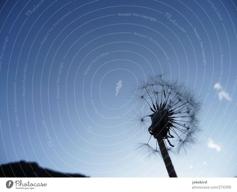 kirgisische Fallschirme Natur Pflanze Luft Himmel Wolken Löwenzahn Berge u. Gebirge ästhetisch Unendlichkeit blau schwarz Leichtigkeit Mobilität Verfall Ferne