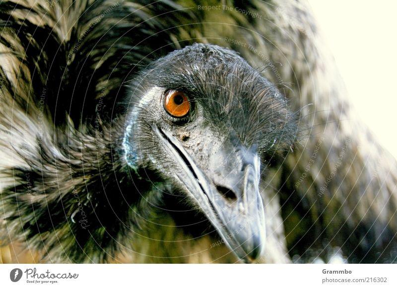 Emu Tier Vogel 1 Lächeln Freundlichkeit Neugier Auge Blick Farbfoto Außenaufnahme Tierporträt Feder Metallfeder Schnabel