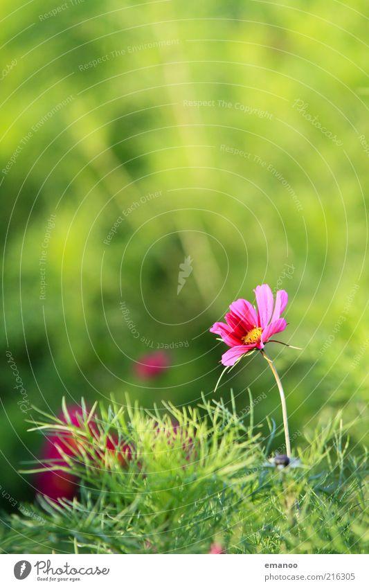 pink power flower Sommer Umwelt Natur Landschaft Pflanze Wasser Klima Schönes Wetter Blume Gras Sträucher Blatt Blüte Grünpflanze exotisch Wiese schön Wärme