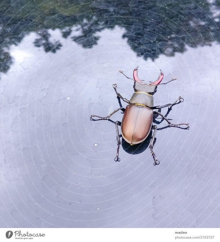 Grosser Tier Käfer 1 groß blau braun grün Hirschkäfer Baum Autodach Farbfoto Gedeckte Farben Außenaufnahme Nahaufnahme Menschenleer Textfreiraum links