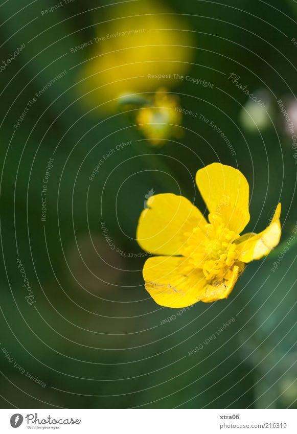 früh morgens Umwelt Natur Pflanze Blume Blüte gelb Farbfoto Außenaufnahme Nahaufnahme Detailaufnahme Textfreiraum unten Blütenblatt Blühend Makroaufnahme
