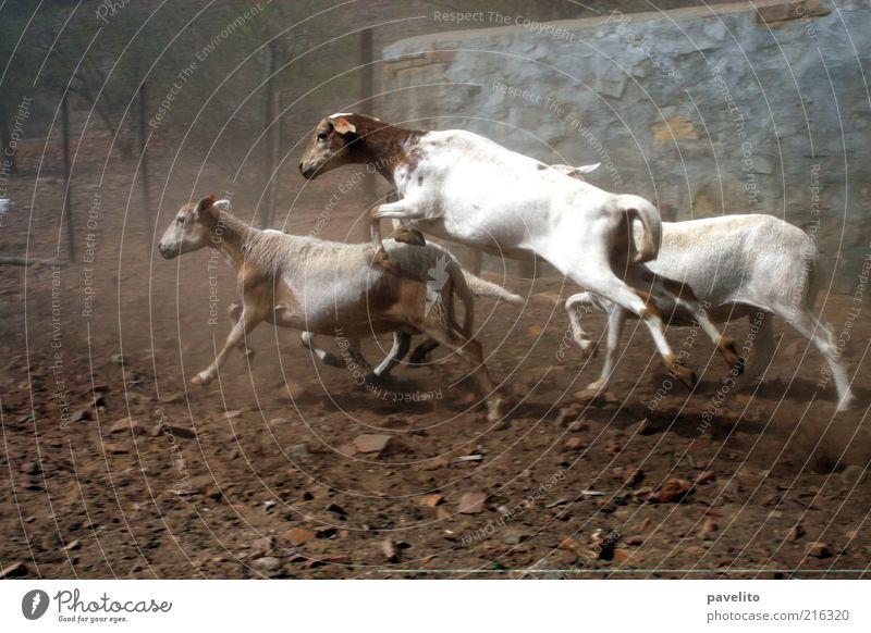 Schaftag Nutztier 4 Tier springen Farbfoto Außenaufnahme Textfreiraum unten Tag Totale sprunghaft Dynamik Schafherde Pferch unruhig Panik Flucht laufen flüchten