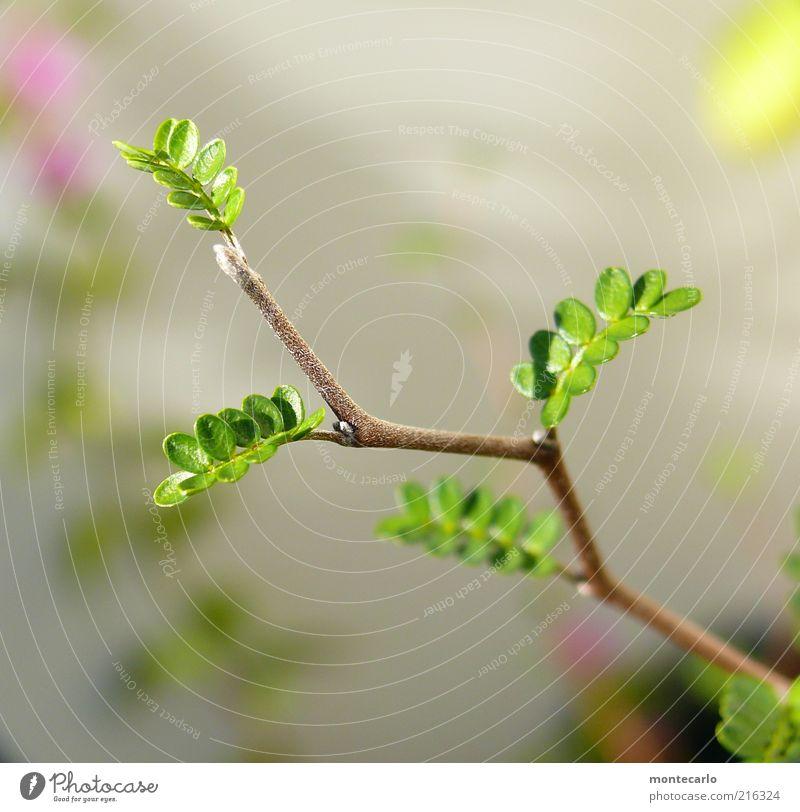 Sophora II Pflanze Grünpflanze exotisch ästhetisch Farbfoto Außenaufnahme Makroaufnahme Tag Sonnenlicht Zweig zartes Grün Jungpflanze filigran