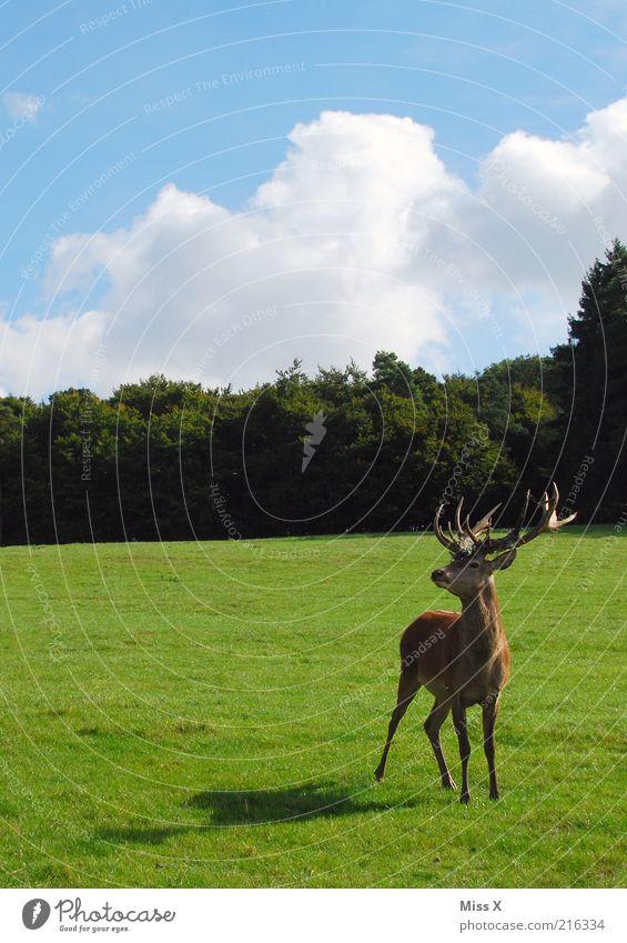 Platzhirsch Natur Himmel Baum Tier Wald Wiese Gras Park Kraft groß ästhetisch wild Wildtier Weide Schönes Wetter Horn