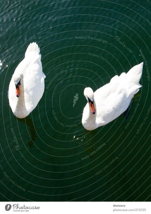 schwanensee Tier Wasser Sommer Schönes Wetter Teich Wildtier Schwan 2 Tierpaar Stolz eitel Farbfoto Außenaufnahme Menschenleer Tag Vogelperspektive Freisteller
