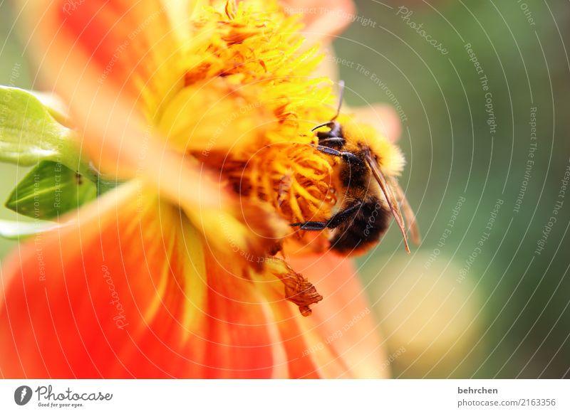 am ende des sommers Natur Pflanze Tier Sommer Schönes Wetter Blume Blatt Blüte Garten Park Wiese Wildtier Biene Flügel Hummel 1 Blühend Duft fliegen Fressen