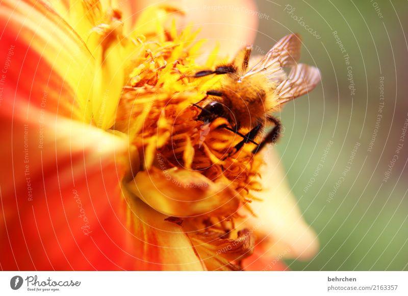 von blümchen und bienchen Natur Pflanze Tier Sommer Schönes Wetter Blume Blatt Blüte Garten Park Wiese Wildtier Biene Flügel Hummel 1 Blühend Duft fliegen