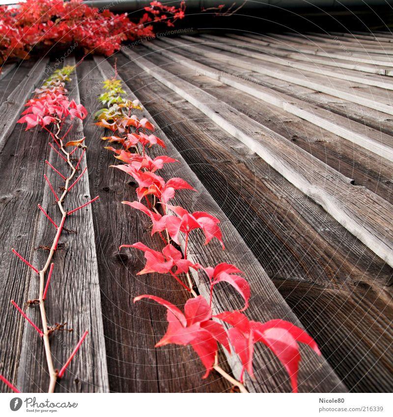 roter Oktober Umwelt Natur Herbst Pflanze alt Holz Holzwand Wein Wilder Wein Farbfoto Außenaufnahme Menschenleer Tag Herbstlaub herbstlich Herbstfärbung Ranke