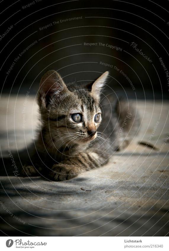 Jetzt nicht - BITTE ruhig Tier grau Katze Tiergesicht liegen beobachten natürlich Neugier hören niedlich Wachsamkeit achtsam Tierjunges Katzenauge Tigerfellmuster