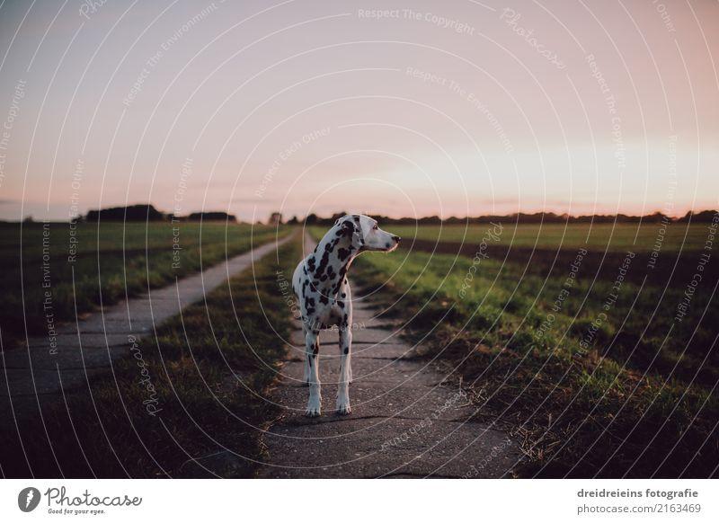 Dalmatiner steht auf Feldweg und schaut Natur Landschaft Wolkenloser Himmel Horizont Sonnenaufgang Sonnenuntergang Frühling Sommer Herbst Schönes Wetter Wiese