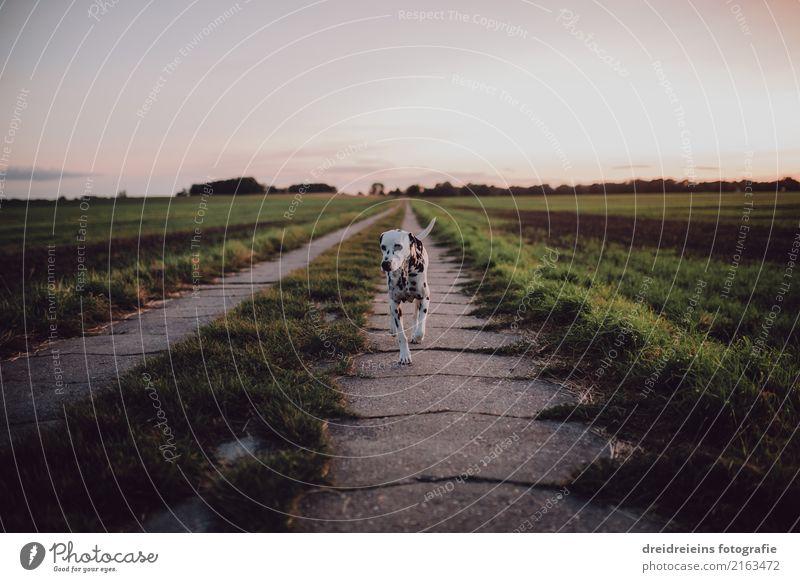 Dalmatiner geht spazieren Natur Landschaft Wolkenloser Himmel Horizont Sonnenaufgang Sonnenuntergang Frühling Sommer Herbst Schönes Wetter Wiese Feld Tier