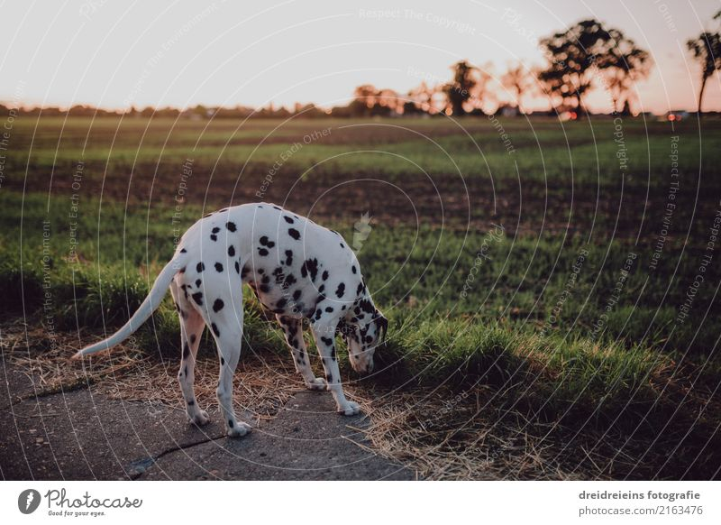 Dalmatiner auf der Suche Natur Sonnenaufgang Sonnenuntergang Sonnenlicht Frühling Sommer Herbst Schönes Wetter Wiese Feld Tier Haustier Hund Neugier niedlich
