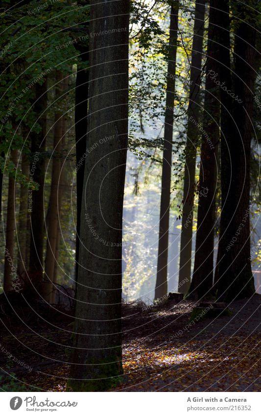 good morning wood good morning world Umwelt Natur Landschaft Pflanze Herbst Schönes Wetter Baum Wald außergewöhnlich Duft frisch natürlich schön braun schwarz