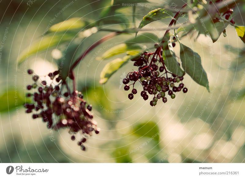 Holler Frucht Beeren Beerenfruchtstand Bioprodukte Umwelt Natur Herbst Nutzpflanze Holunderbusch Holunderbeeren Wachstum frisch Gesundheit gut natürlich saftig