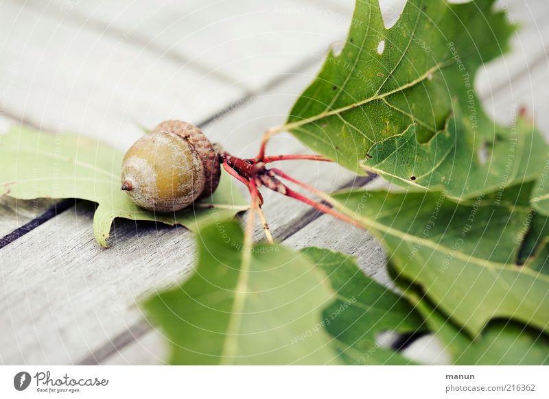 geeicht Natur schön Blatt Herbst Holz hell Frucht Wachstum Vergänglichkeit Ast Samen Zweig herbstlich Fruchtstand Eicheln Eichenblatt