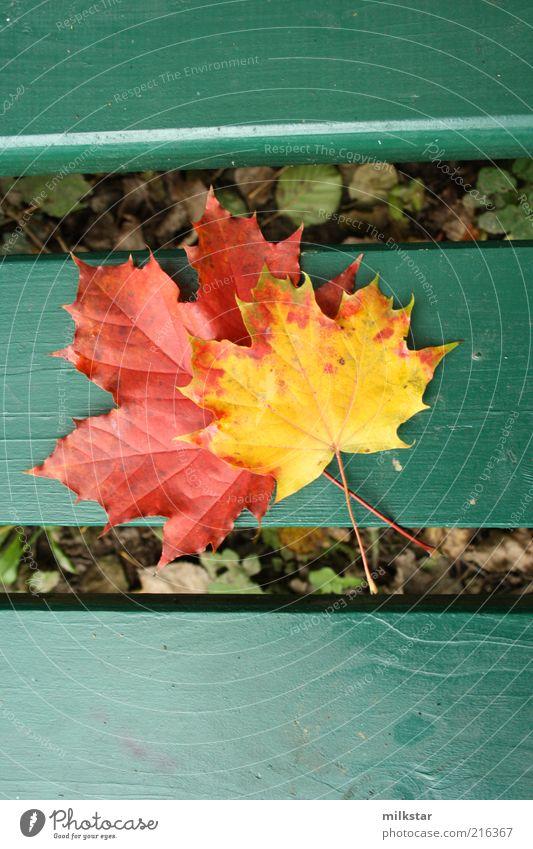 Ahorn auf Bank Natur alt Pflanze rot ruhig Blatt gelb Erholung Herbst Wetter Ausflug Freizeit & Hobby Dekoration & Verzierung Duft harmonisch