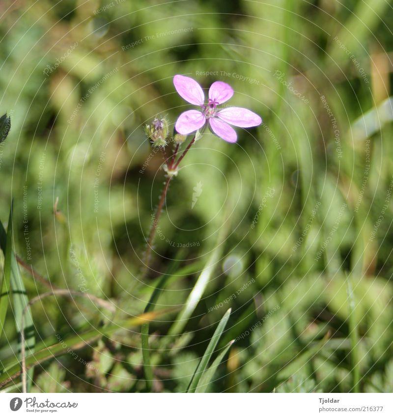 Unkraut vergeht nicht Pflanze Blüte Wildpflanze violett rosa Wiese Farbfoto Außenaufnahme Nahaufnahme Abend Licht Sonnenlicht Menschenleer Unschärfe 1 Tag