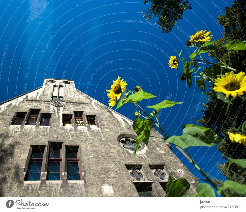 schöner wohnen. Stil Haus Pflanze Blume Bauwerk Gebäude Architektur Mauer Wand Fassade Fenster Duft blau gelb Lebensfreude Sympathie Wachstum Sonnenblume Tag