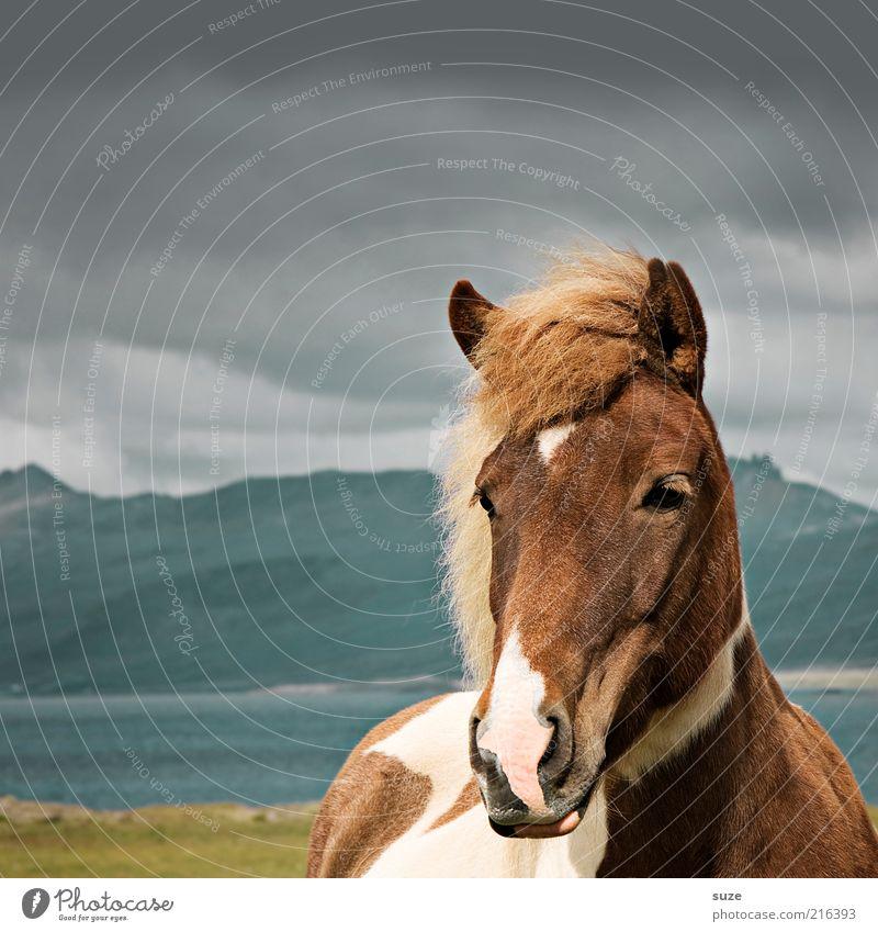 Isländer Himmel Natur schön Tier Wolken Landschaft Berge u. Gebirge grau braun Stimmung natürlich Wind wild Wildtier warten stehen