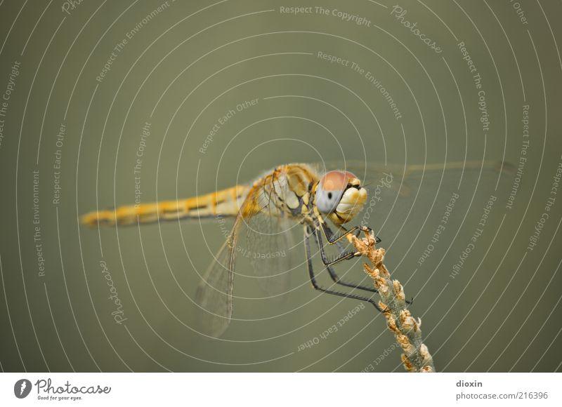 Sympetrum meridionale (Weibchen) Natur Pflanze Tier gelb Gras klein sitzen Flügel Insekt beobachten festhalten Halm Fühler hocken Libelle Licht