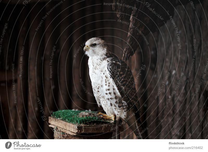 Falke Merlyn Tier Wildtier Falken Feder Schnabel Greifvogel 1 Holz beobachten hocken Blick warten braun weiß Farbfoto Textfreiraum links Textfreiraum rechts