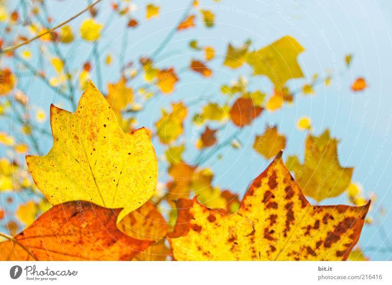 Frisch in den Herbst...(V) Natur Pflanze Luft Himmel Wolkenloser Himmel Klima Wetter Schönes Wetter Baum Blatt hängen blau mehrfarbig gelb gold rot Umweltschutz