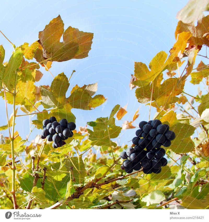 Wein Natur Pflanze Blatt Ernährung Herbst Lebensmittel Frucht frisch süß Wachstum lecker Schönes Wetter Bioprodukte Blauer Himmel saftig