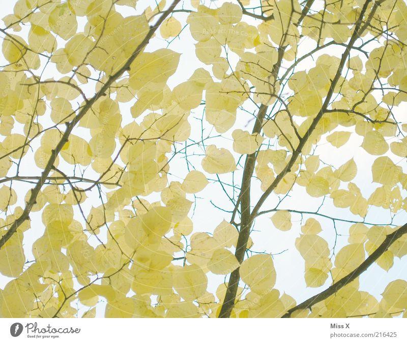 Linde Natur Baum Blatt gelb Herbst Schönes Wetter Ast zart Herbstlaub herbstlich Geäst Herbstfärbung Pflanzenteile Herbstbeginn Zweige u. Äste dehydrieren