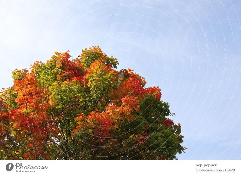 herbstkrone Ferien & Urlaub & Reisen Ausflug Ferne Natur Landschaft Pflanze Luft Himmel Wolkenloser Himmel Sonnenlicht Wetter Schönes Wetter Baum alt leuchten